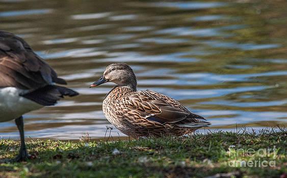 Dale Powell - Felling Ducky