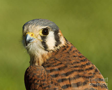 female American Kestrel by Doug Herr