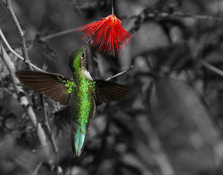 Female Anna's hummingbird by Old Pueblo Photography