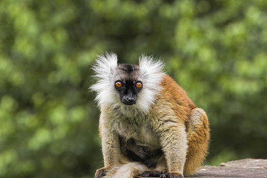 Stephen Barrie - Female Black Lemur