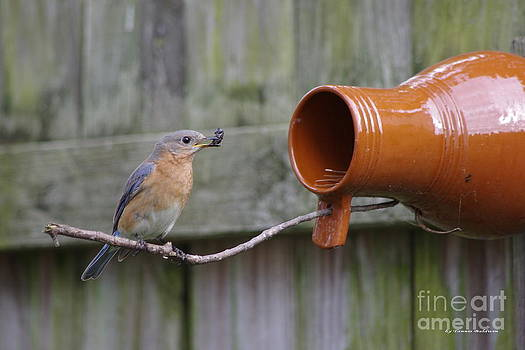 Tannis  Baldwin - Female Bluebird