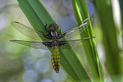 Stephen Barrie - Female Broad Bodied Chaser