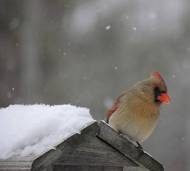Female Cardinal by Amalia Jonas