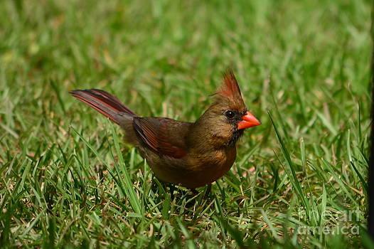 Bob Sample - Female Cardinal