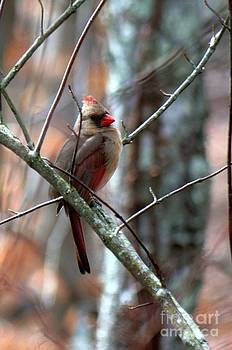 Female Cardinal by Bren Thompson