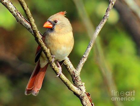 Female Cardinal by Ellen Ryan