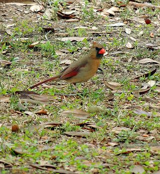 Female Cardinal by Kim Pate
