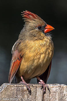Female Cardinal on Fence by Mike Watts