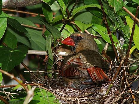 Female Cardinal on her Nest by Billy  Griffis Jr
