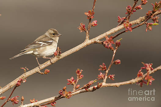 Female Chaffinch On A Cherry Tree by Kirk Norbury