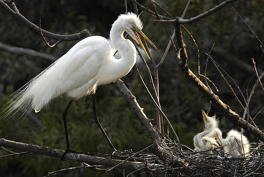 Female Egret with chicks by Bill LITTELL