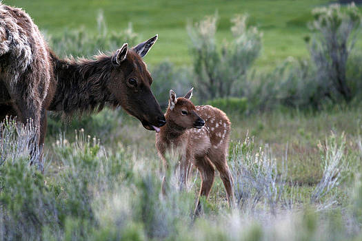 Female Elk and new born fawn by John Rockwood