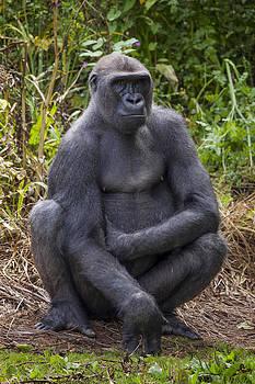 Female Gorilla by Gillian Dernie