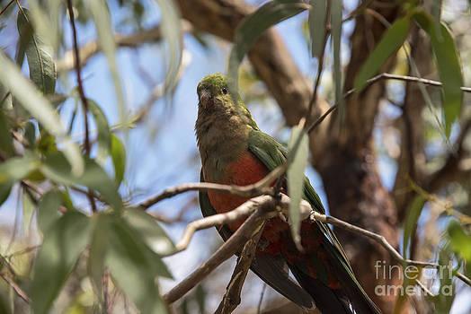 Bob Phillips - Female King Parrot