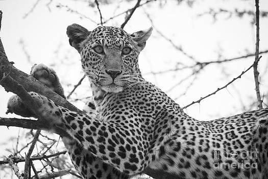 Howard Kennedy - Female Leopard