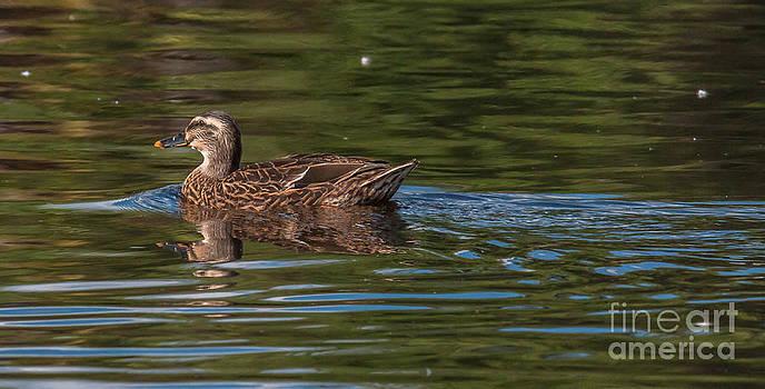 Dale Powell - Female Mallard Duck