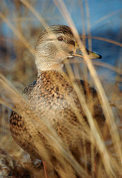Female mallard duck. In the grasses alongside the Ottawa River. by Rob Huntley