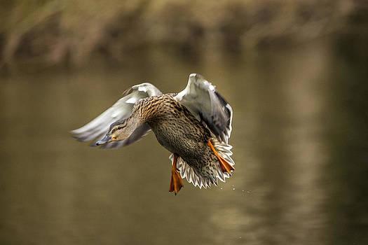 Female Mallard duck landing on lake by Simon West