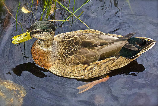 Venetia Featherstone-Witty - Female Mallard Duck