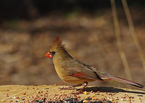Billy  Griffis Jr - Female Northern Cardinal 2