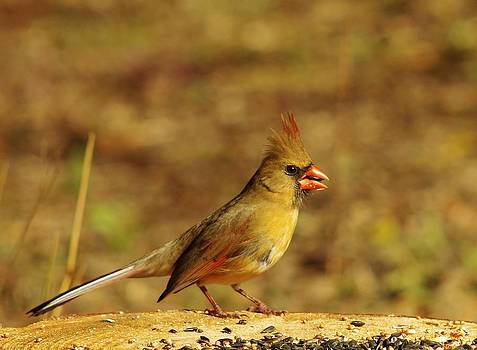 Billy  Griffis Jr - Female Northern Cardinal