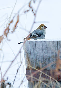 Dee Carpenter - Female Pine Grosbeak