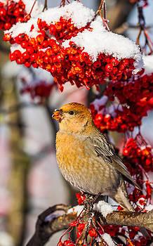 Female Pine Grosbeak by Mikko Karjalainen