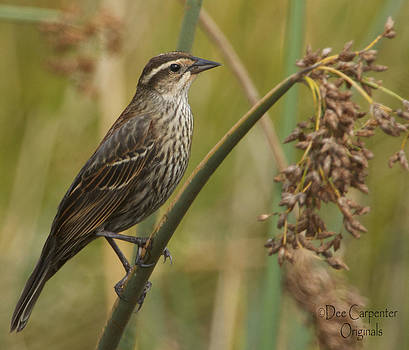 Dee Carpenter - Female Redwing Blackbird