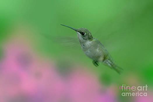 Female Ruby-Throated Hummingbird by E B Schmidt