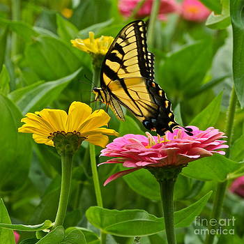 Byron Varvarigos - Female Tiger Swallowtail Butterfly With Pink And Yellow Zinnias