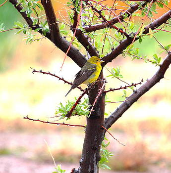 Female Western Tanager by Floyd Tillery
