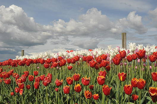 Fence Post Tulips by Brent Easley