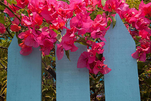 Susan Rovira - Fence with Bouganvillia
