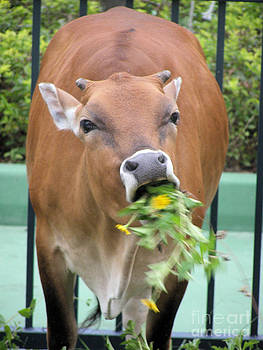 Feral Cow Eating Dandelions by Kathy Daxon