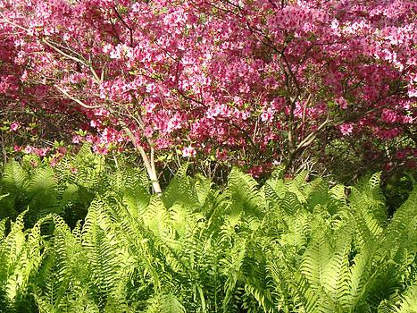 Ferns and Azalias - Arnold Arboretum by Paul Thomas