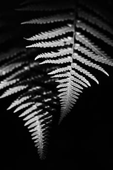 Ferns by Photographos ORG