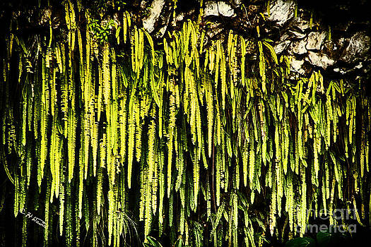 Charles Davis - Ferns of Fern Grotto