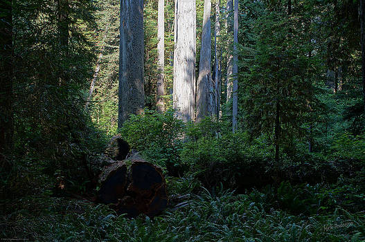 Mick Anderson - Ferns of the Redwood Forest