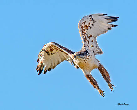 Ferruginous Hawk Launch by Stephen  Johnson