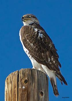 Ferruginous Hawk on Pole by Stephen  Johnson