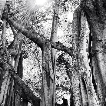 Ficus Altissima in Black and White by K Simmons Luna