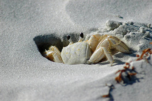 Fiddler Crab on Cumberland Island by Bruce Gourley