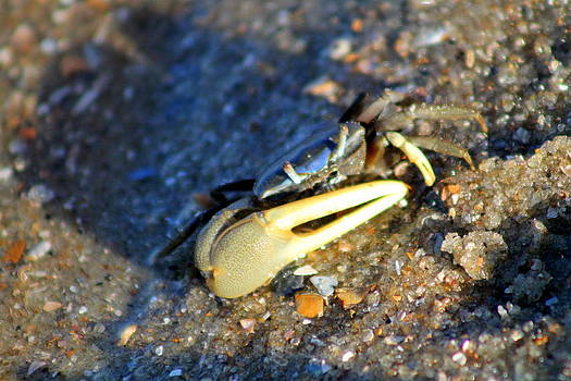 Fiddler Crab on Tybee Island by Kay Mathews