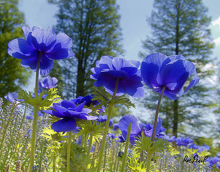 Field of Blue by Ron Pearl