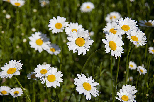 Field of Daisies by Heather Reeder