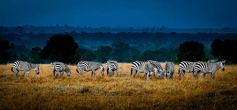 Field of Feeding Zebra by Jim DeLillo