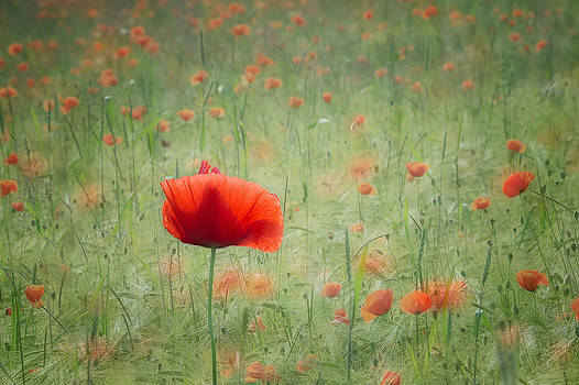 Field of poppies by Silke Magino