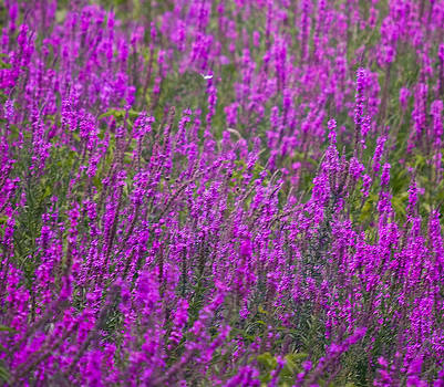 Field of Purple by John Holloway