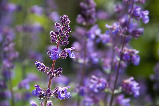 Field of Purple by Teresa Hunt