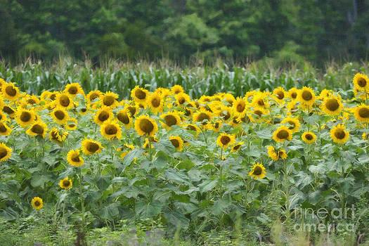 Dale Powell - Field of Sunflowers